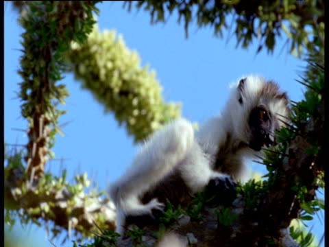 Baby Verreaux's sifaka clambers on prickly Didierea plant, Madagascar