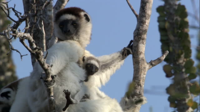 baby verreaux's sifaka lemur (propithecus verreauxi) nestled against mum, madagascar - animal family stock videos and b-roll footage