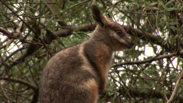 ms baby wallaby (macropus agilis) looking around, featherdale wildlife park, new south wales, australia - beuteltier stock-videos und b-roll-filmmaterial