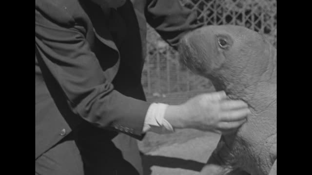 cu baby walrus peel in his outdoor enclosure at the bronx zoo / vs capt bob bartlett who brought peel to the us plays with him and tries to get him... - bronx zoo stock-videos und b-roll-filmmaterial