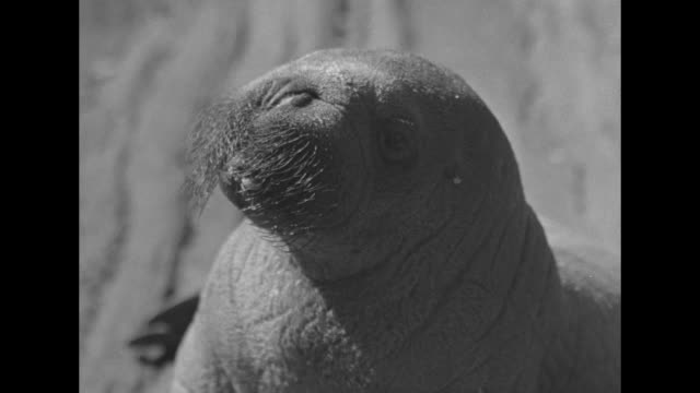 vs baby walrus peel who was brought to the us by famed arctic explorer capt bob bartlett he eats morsels from a man's hand waddles around in his... - bronx zoo stock-videos und b-roll-filmmaterial
