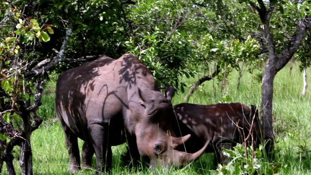 baby white rhino and mother grazing - grey eyes stock videos & royalty-free footage