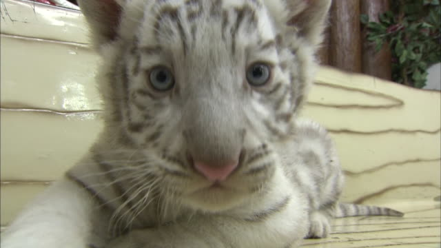 A baby white tiger shows great curiosity about shooting camera