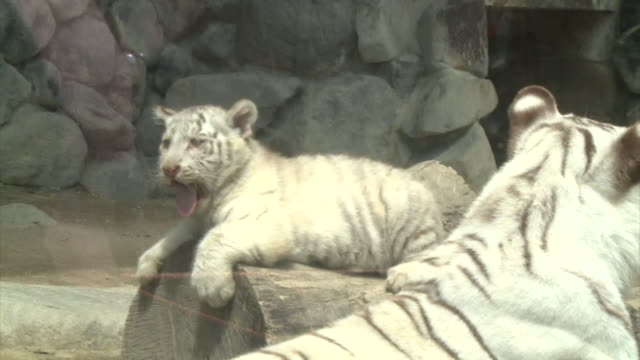 baby white tigers play with each other - other stock videos & royalty-free footage