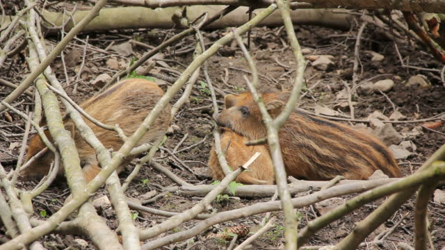 baby wild boar - 動物の子供点の映像素材/bロール