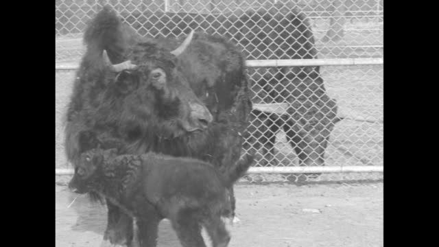 stockvideo's en b-roll-footage met baby yak next to mother yak in fenced enclosure father yak looking on from adjacent enclosure / baby yak walks in front of mother / two shots of baby... - omsloten ruimte