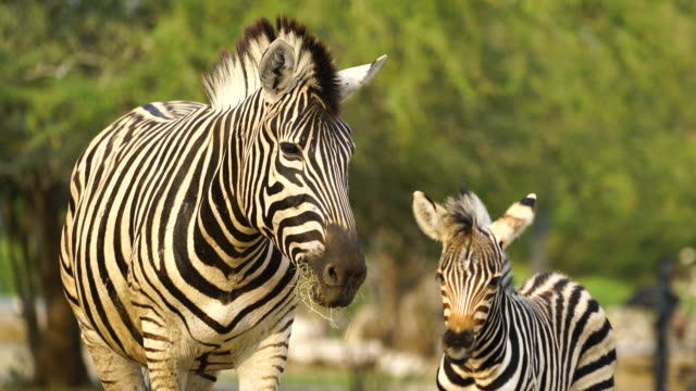 4k baby zebra and mother in the zoo - erbivoro video stock e b–roll