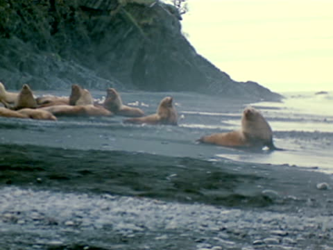 vidéos et rushes de bachelor colony on beach w/ cliffs bg. smaller sea lion bull running into water, swimming. - colony