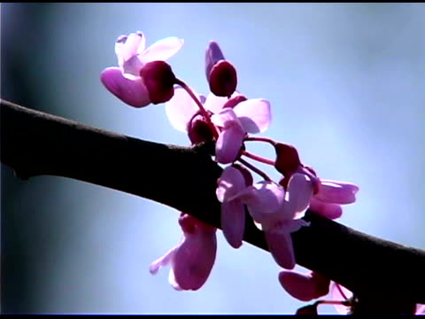 vídeos de stock e filmes b-roll de back lit close-up of pink flowers on branch of redbud tree - back lit