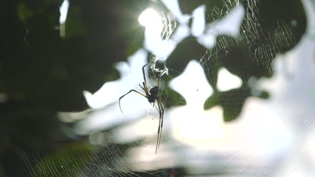 Back lit shot of a spider sitting in the centre of its web.