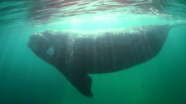 back lit underwater view of a southern right whale coming to the surface to breathe, nuevo gulf, valdes peninsula, argentina.. - endangered species stock videos & royalty-free footage