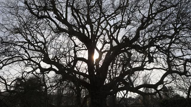"""back lit view of a plane tree named """"arbre de diane"""" which is classified as """"arbre remarquable de france"""" on march 23 in les clayes sous bois,... - durability stock videos & royalty-free footage"""