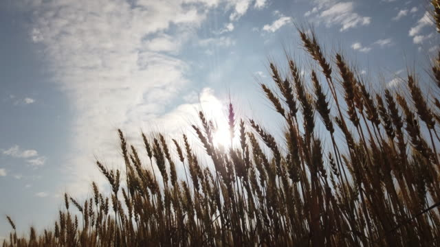 back lit wheat and sunlight - back lit video stock e b–roll
