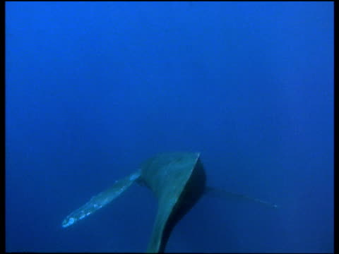 Back of humpback whale swims from camera through blue waters