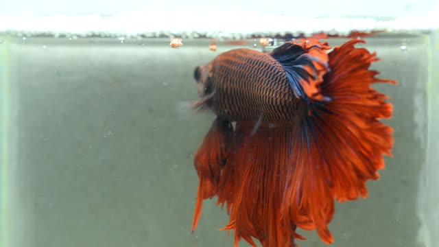 back of siamese fighting fish is in fresh water - siamese fighting fish stock videos and b-roll footage
