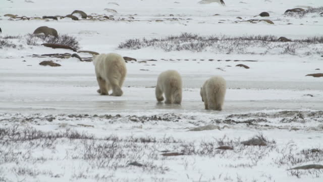 vidéos et rushes de back of three polar bears walking in churchill, canada - trois animaux