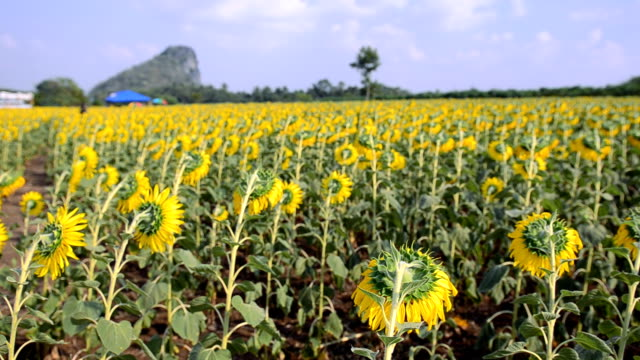 back panning: sunflowers head bend down in afternoon - common sunflower stock videos & royalty-free footage