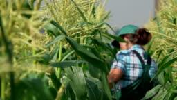 Back view of female farmer walking on the corn field