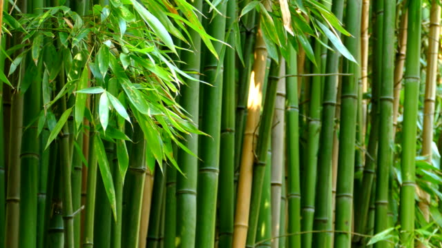 background - bamboo forest