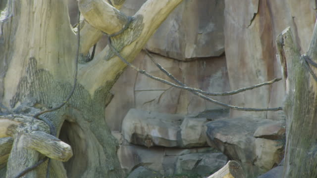 Background plate of tree stumps and vines in an animal enclosure for monkeys in a zoo cage.