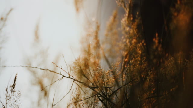 bakgrund med gräs i slow motion under solnedgången. flytta genom den höga blomman fältet vid solnedgången - softfokus bildbanksvideor och videomaterial från bakom kulisserna