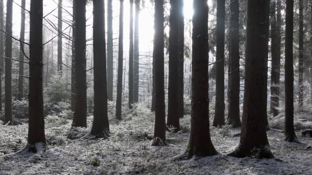 Backlight in winter forest.