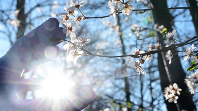backlighting of person´s hand with blue rubber gloves in the country side in spring approaching the branch of a tree recently flowered in spring. germany. - washing up glove stock videos & royalty-free footage