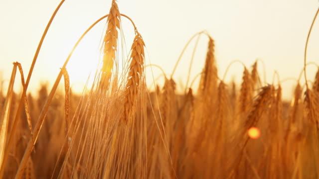 stockvideo's en b-roll-footage met hd dolly: backlit blades of golden wheat - volkorentarwe