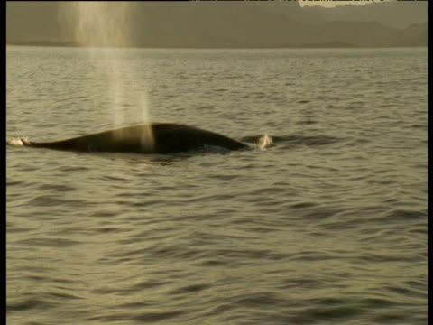 Backlit Blue whale surfaces, spouts then dives, Sea of Cortez