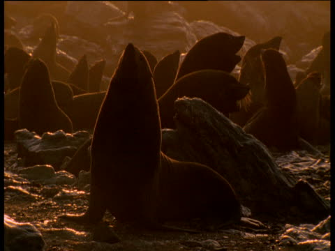 vídeos y material grabado en eventos de stock de backlit fur seal colony at dusk - foca peluda del cabo