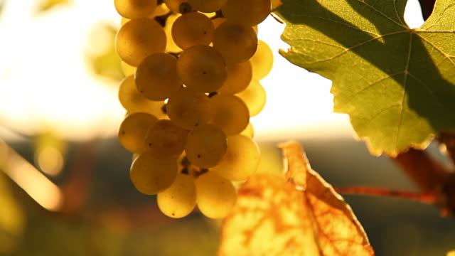 hd dolly: backlit grape bunch - vine stock videos & royalty-free footage