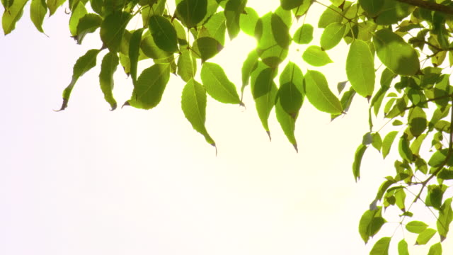 backlit green leaves in the wind with sunbeam - branch stock videos & royalty-free footage