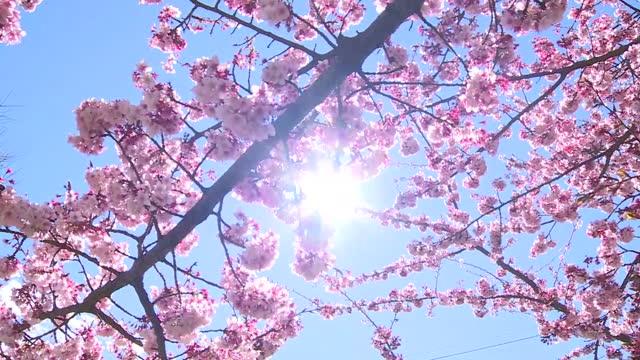 back-lit 'hitachi-benikanzakura' in full bloom, ibaraki, japan - branch stock videos & royalty-free footage