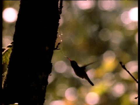 vídeos de stock, filmes e b-roll de backlit hummingbird drinks honeydew from insect threads suspended from tree, usa - melão musk