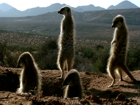 vídeos de stock e filmes b-roll de 4 backlit meerkats (suricata suricatta), stand and sunbathe at burrow, namaqualand, south africa - grupo pequeno de animais