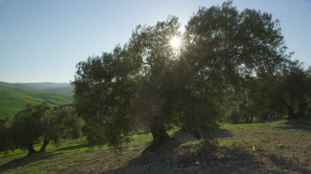 WS backlit olive tree with branches being blown by strong wind, RED R3D 4k