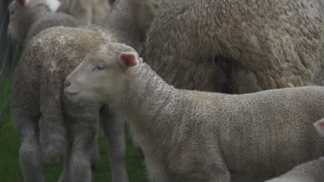 backlit sheep and lamb grazing on grass - young animal stock videos & royalty-free footage