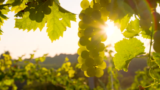 cu ds backlit white grapes in vineyard - bunch stock videos and b-roll footage