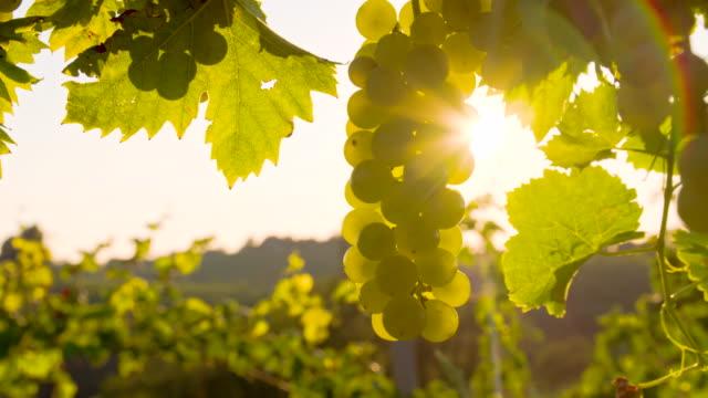 vídeos y material grabado en eventos de stock de cu ds retroiluminación blanca uvas en el viñedo - manojo