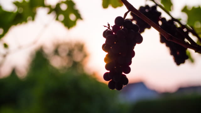 backlit wine grape - grape stock videos & royalty-free footage