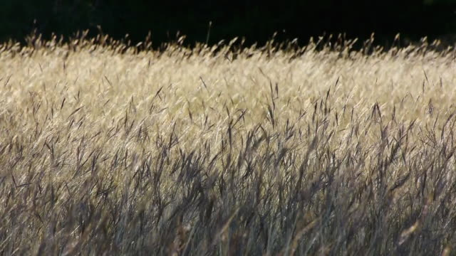 backlit yellow grasses on grassland prairie, gently waving in wind, texas hill country, stonewall, texas - prairie stock videos & royalty-free footage