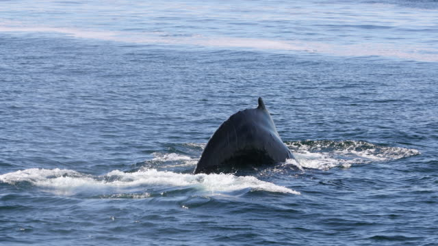 backside of humpback whale tail fluke - tail stock videos & royalty-free footage