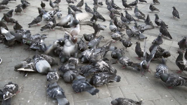 vídeos de stock, filmes e b-roll de backward slow: feeding pigeons on the animal crowded area - kazan, russia - grupo mediano de animales