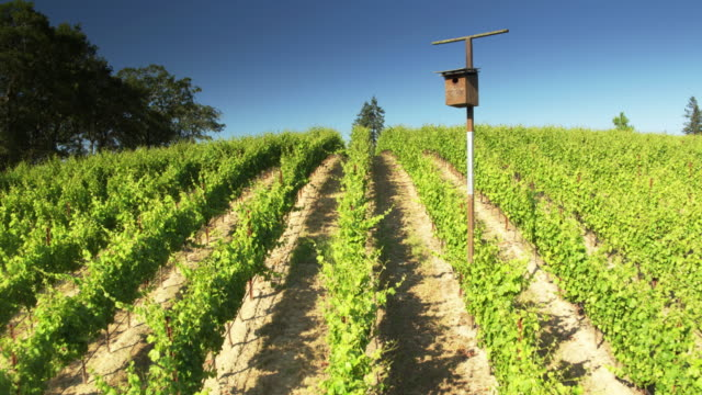 Backwards Drone Flight Over Grape Vine Rows