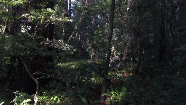 vídeos de stock, filmes e b-roll de backwords inside redwood, aerial, 4k, 9s, 9of50, forest trees, northern california tallest trees in the world, sun flare, hyperion tree, world record, stock video sale - drone discoveries drone aerial view - zoom out
