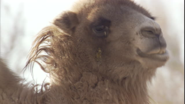 a bactrian camel grazes in the gobi desert, mongolia. available in hd. - grasen stock-videos und b-roll-filmmaterial