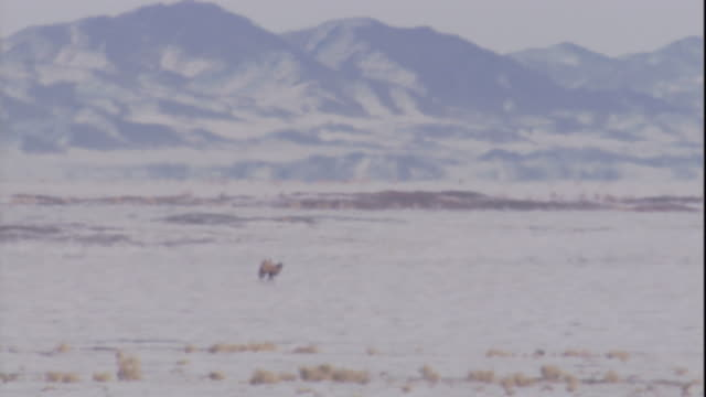 vidéos et rushes de bactrian camel on snow covered gobi desert in heat haze, mongolia available in hd - désert de gobi