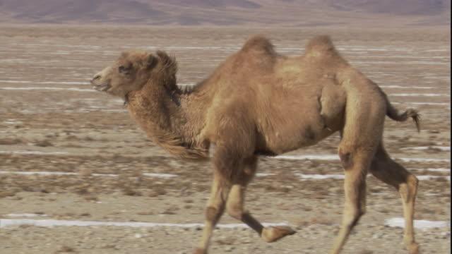 A bactrian camel runs across the Gobi Desert, Mongolia. Available in HD.
