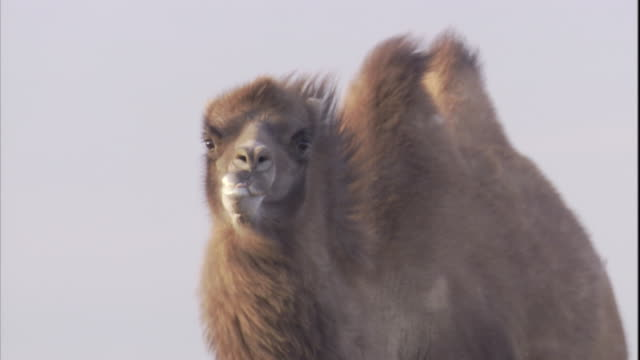 a bactrian camel runs across the gobi desert, mongolia. available in hd. - camel stock videos & royalty-free footage