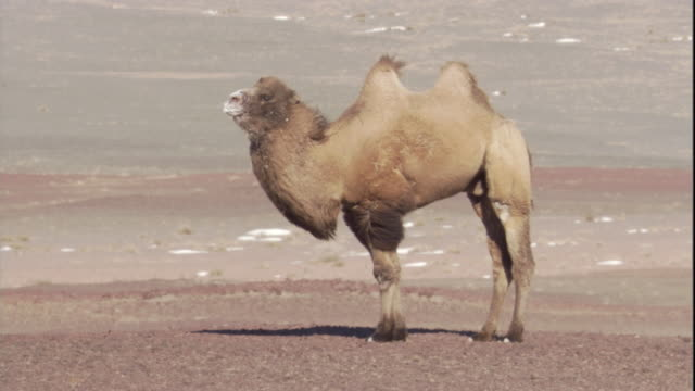 A bactrian camel stands in the Gobi Desert. Available in HD.
